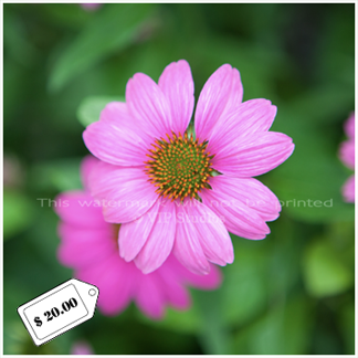 Purple Cone Flower_6125.png