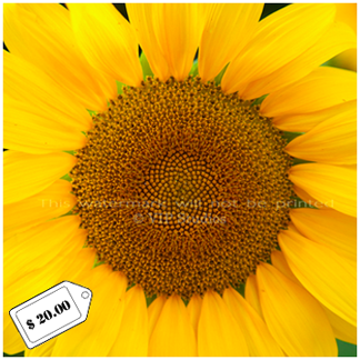 Sunflower_6990.png